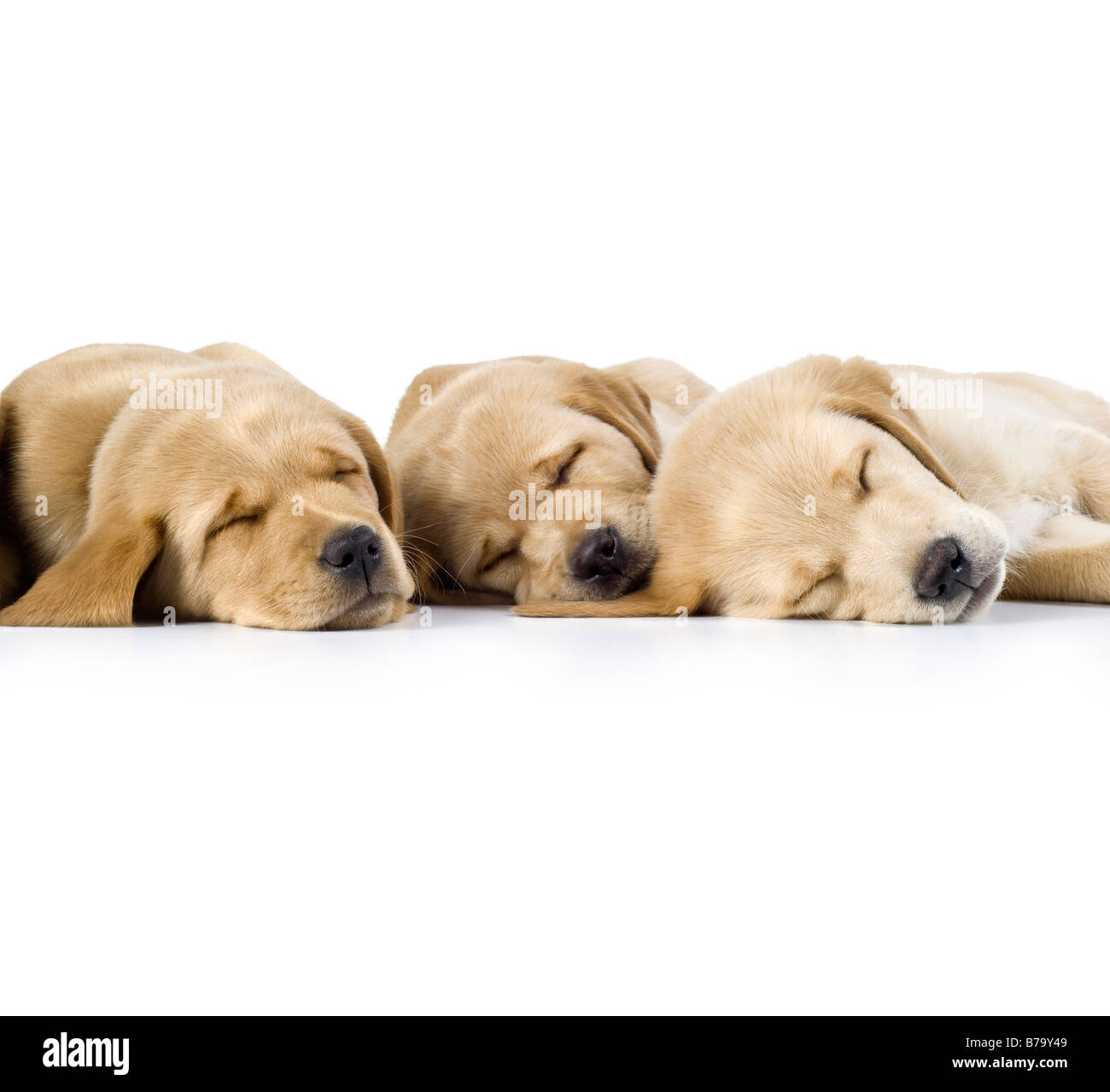 9 week old Labrador cross Golden Retriever Puppies sleeping in a row on white background - Stock Image
