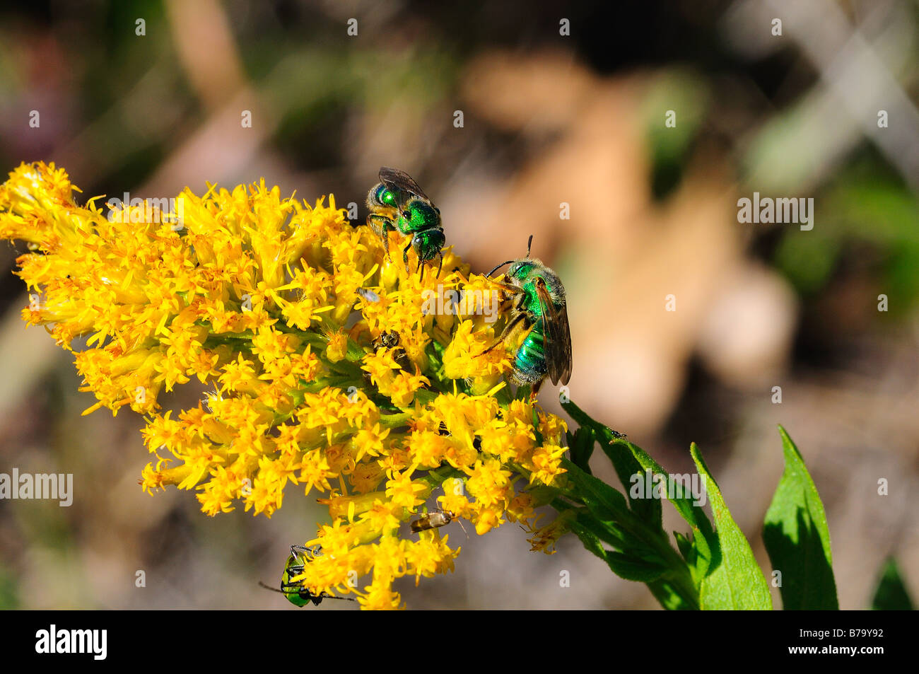 green sweet bees on goldenrod wildflower - Stock Image