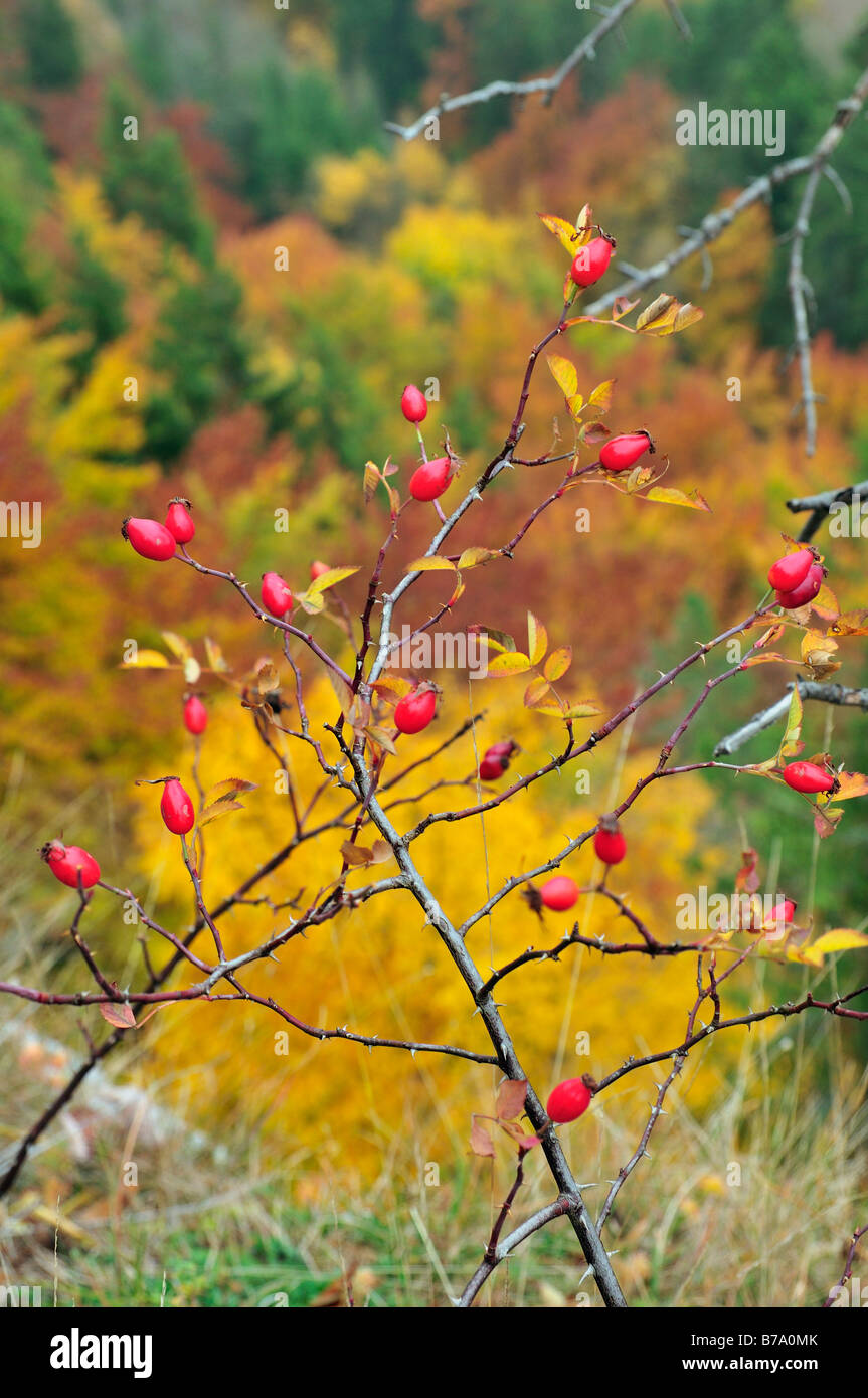 Rose hip in autumn near Beuron, Baden-Wuerttemberg, Germany Stock Photo