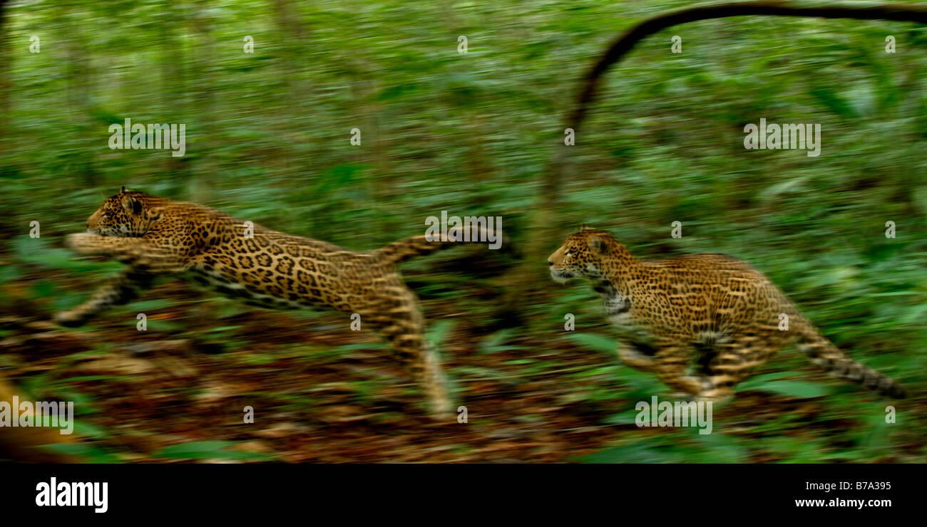 Jaguars running Panthera onca - Stock Image