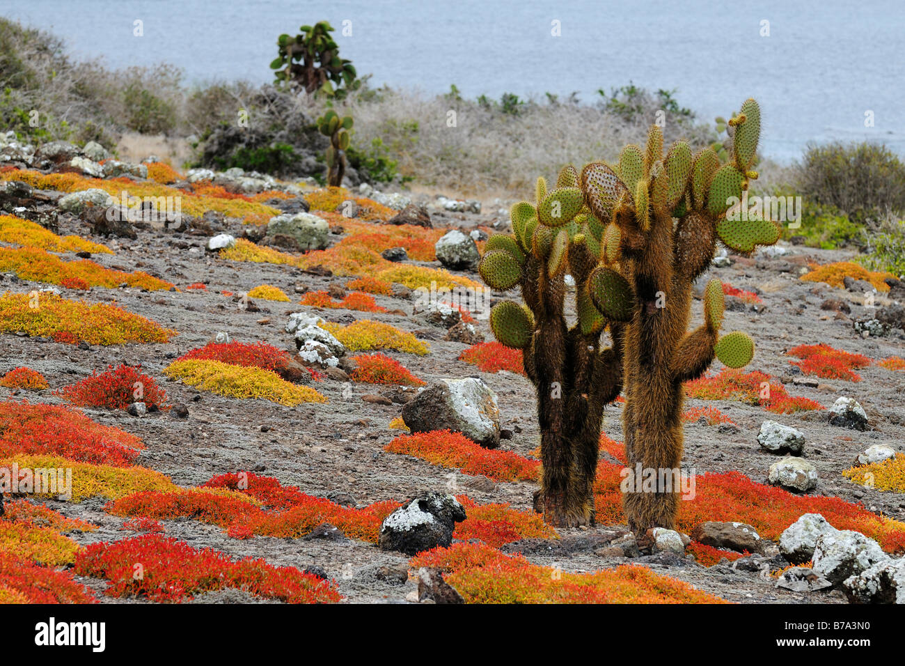Opuntias (Opuntia echios) growing out of a carpet of Galapagos sesuvium, Plaza Sur Island, Galapagos Islands, Ecuador, - Stock Image