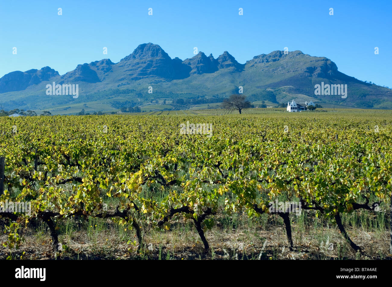 Vineyard on a small family estate near Stellenbosch Western Cape South Africa - Stock Image