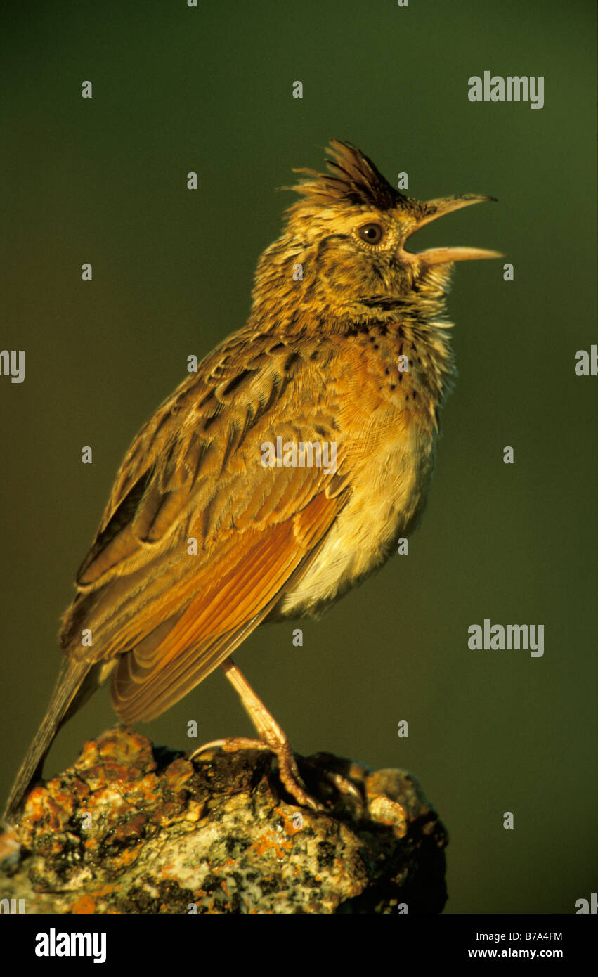 Rufous naped lark perched on a rock, calling Stock Photo