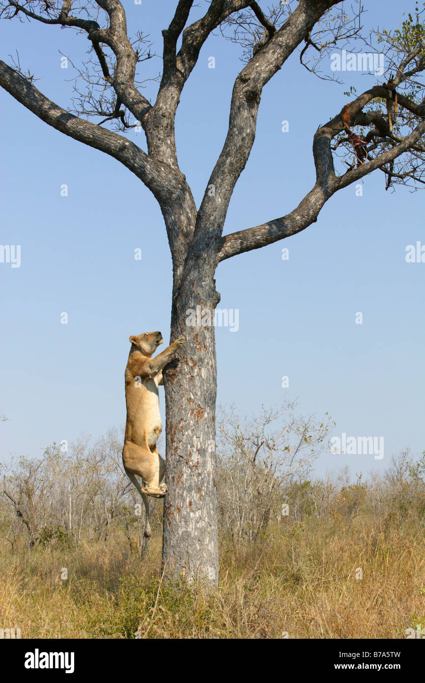 A lioness climbing a Marula tree to scavenge the remains of a leopard kill - Stock Image