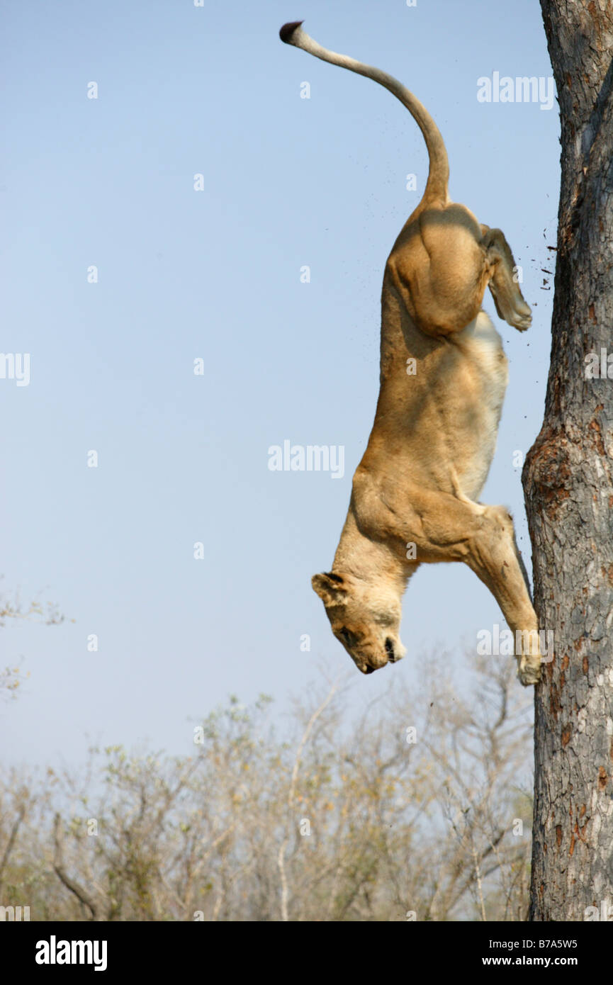 A lioness (Panthera leo) descending down a vertical tree trunk - Stock Image