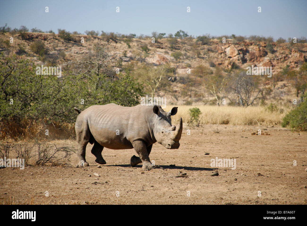Scenic view of a white rhino walking in an arid environment - Stock Image
