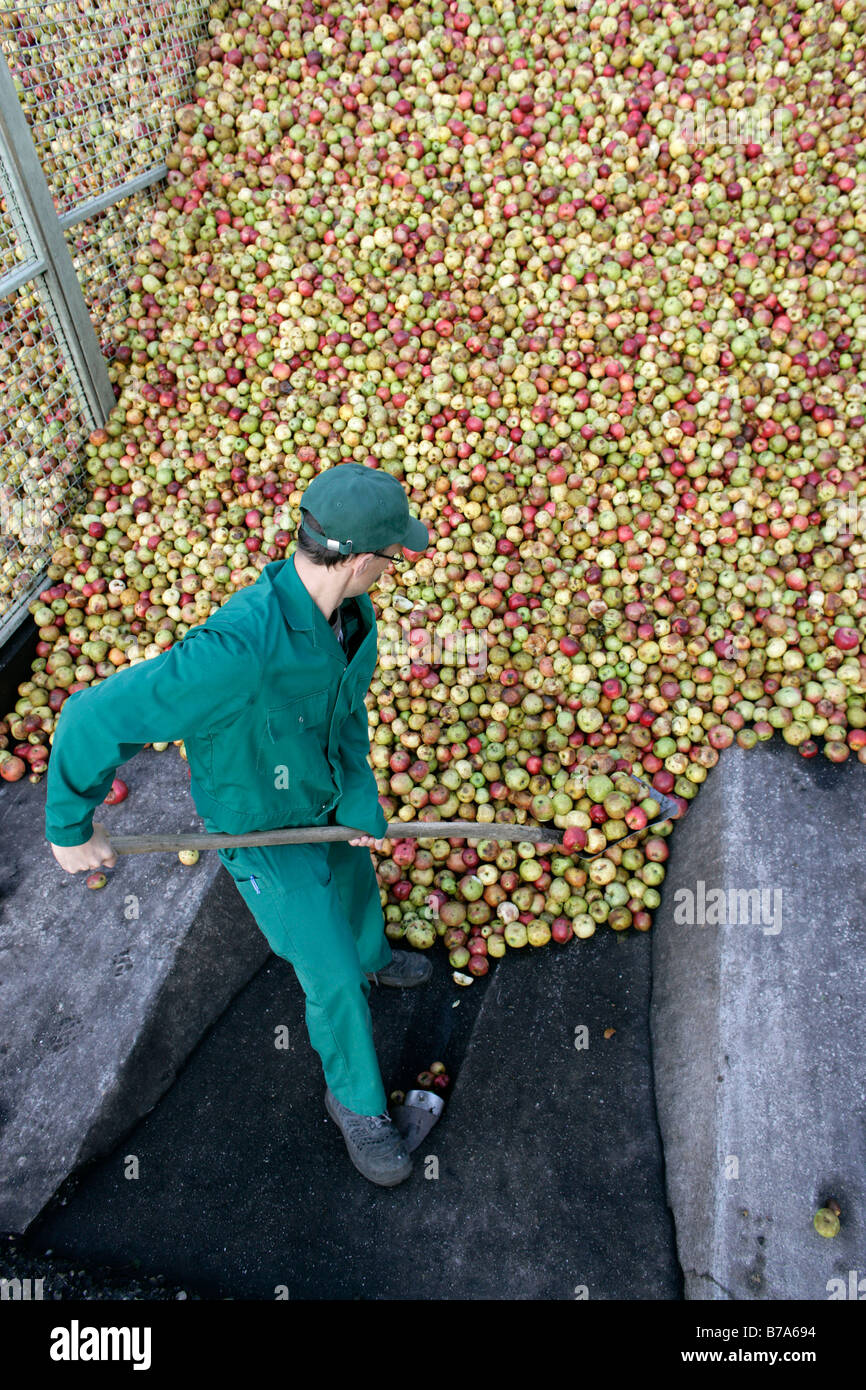An employee towering up the delivered apples into a mountain of apples at the Emil Jacoby fruit juice press house - Stock Image