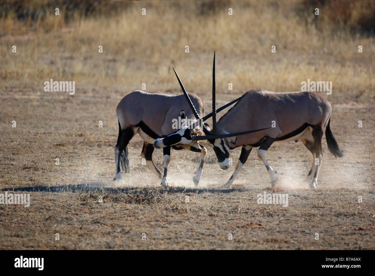 Two gemsbok (Oryx gazella) bulls fighting and kicking up dust Stock Photo
