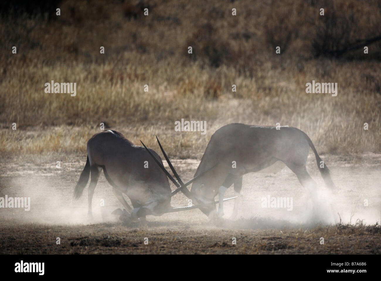 Two gemsbok (Oryx gazella) bulls fighting and kicking up dust - Stock Image