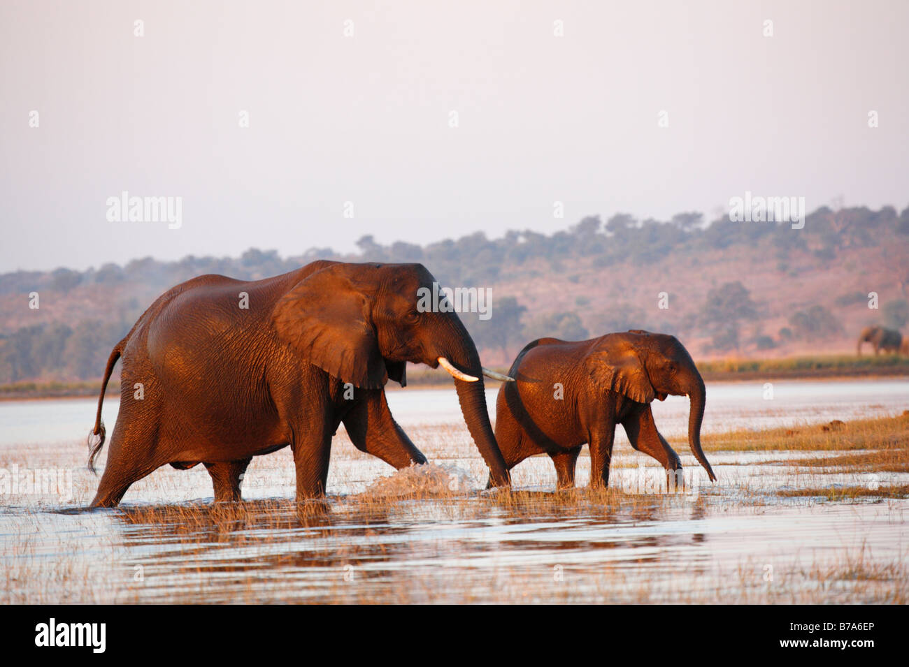 A cow elephant with calf at it's side emerging from the Chobe River after crossing - Stock Image