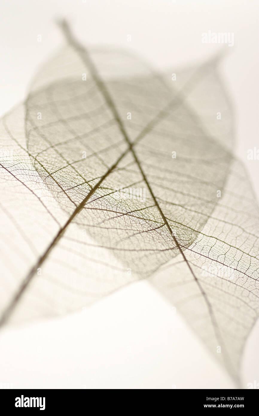 Pressed leaves - Stock Image