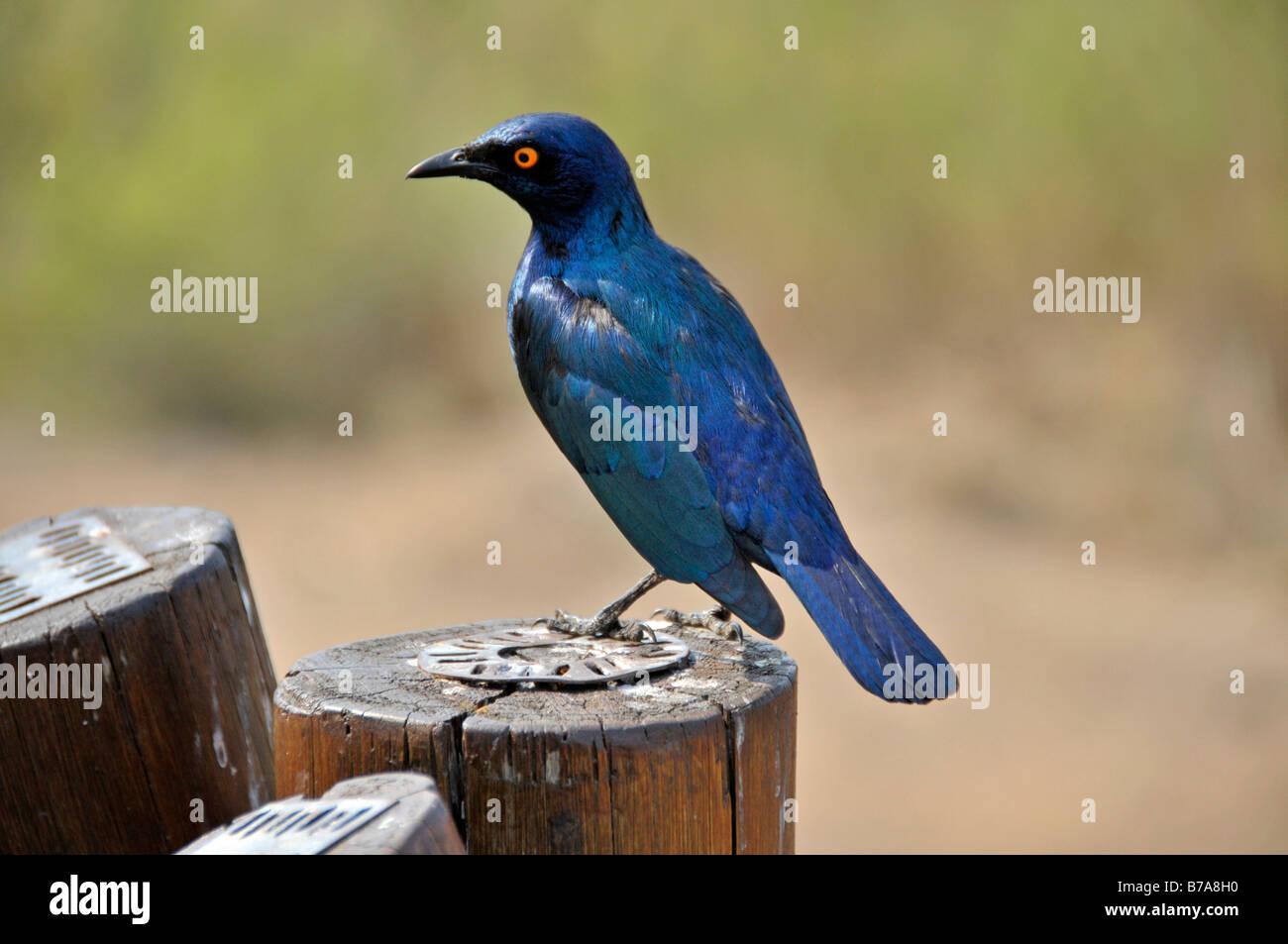 Blue-headed Crested Flycatcher (Melaenornis pammelaina), Krueger-Nationalpark, South Africa, Africa - Stock Image
