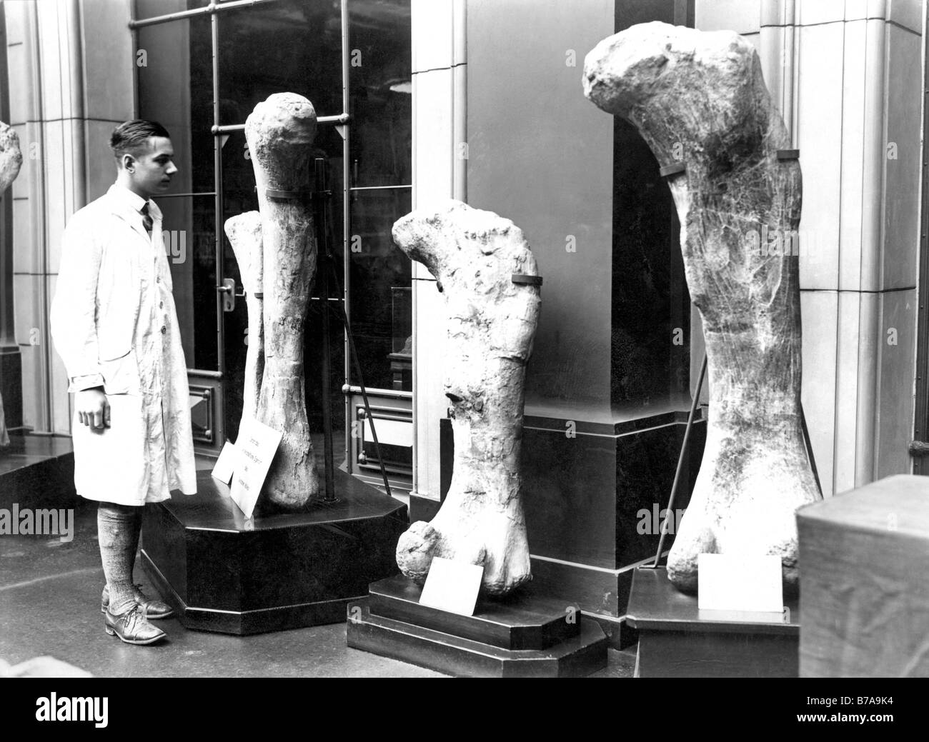Historic photo, research scientist with dinosaur bones, ca. 1925 - Stock Image