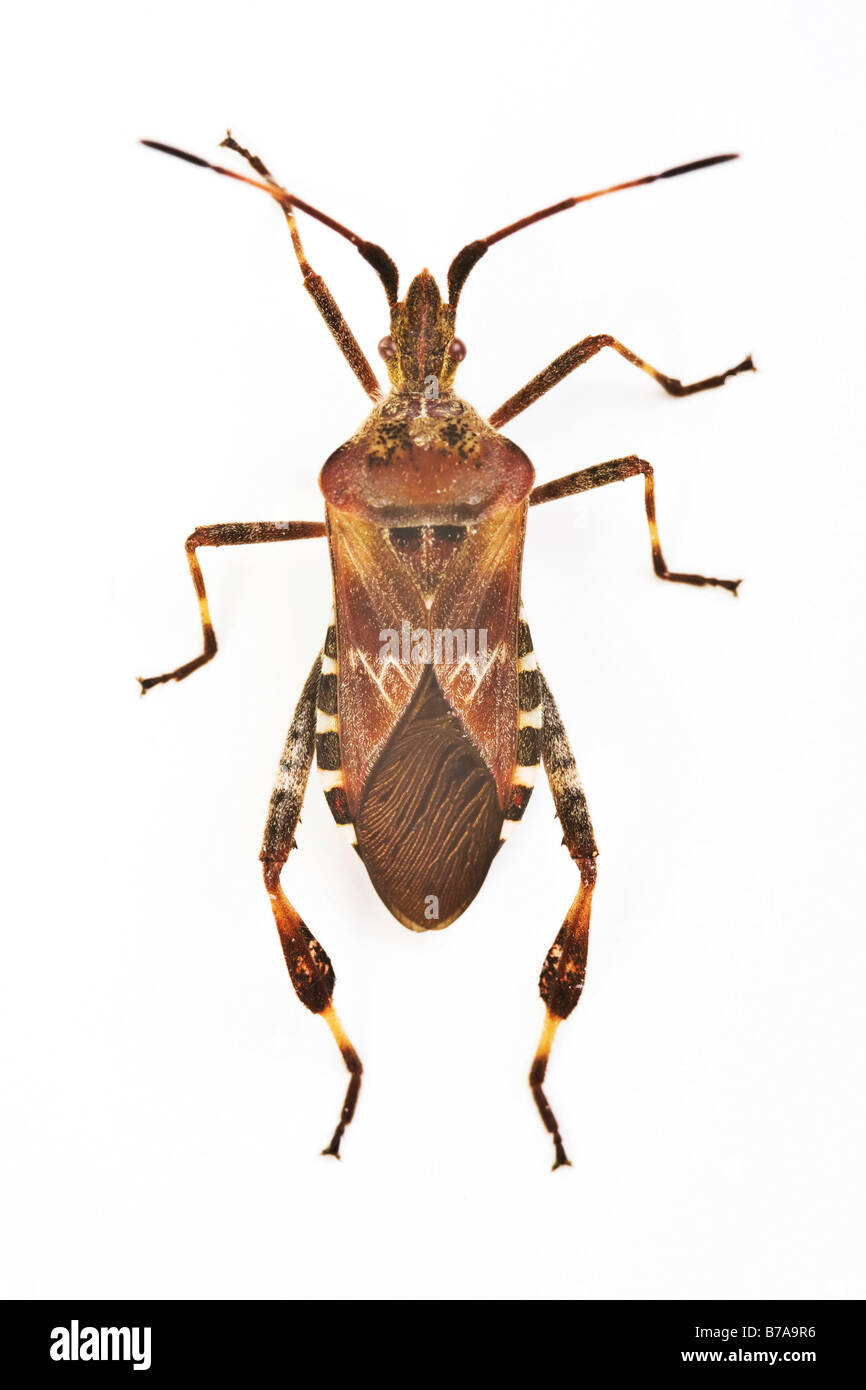 Western Conifer Seed Bug (Leptoglossus occidentalis) - Stock Image