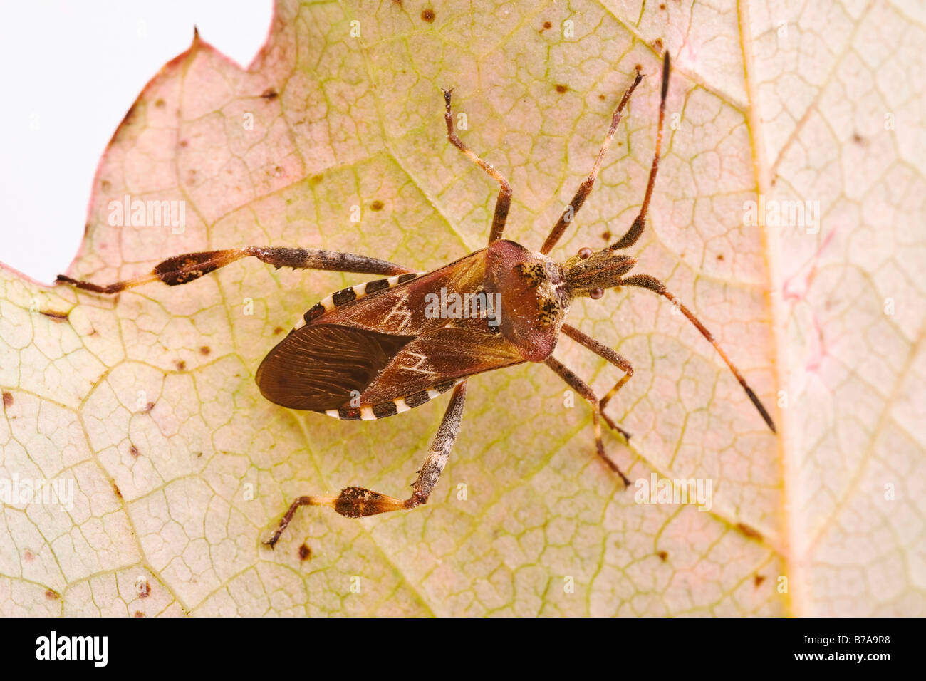 Western Conifer Seed Bug (Leptoglossus occidentalis) on an autumn leaf - Stock Image