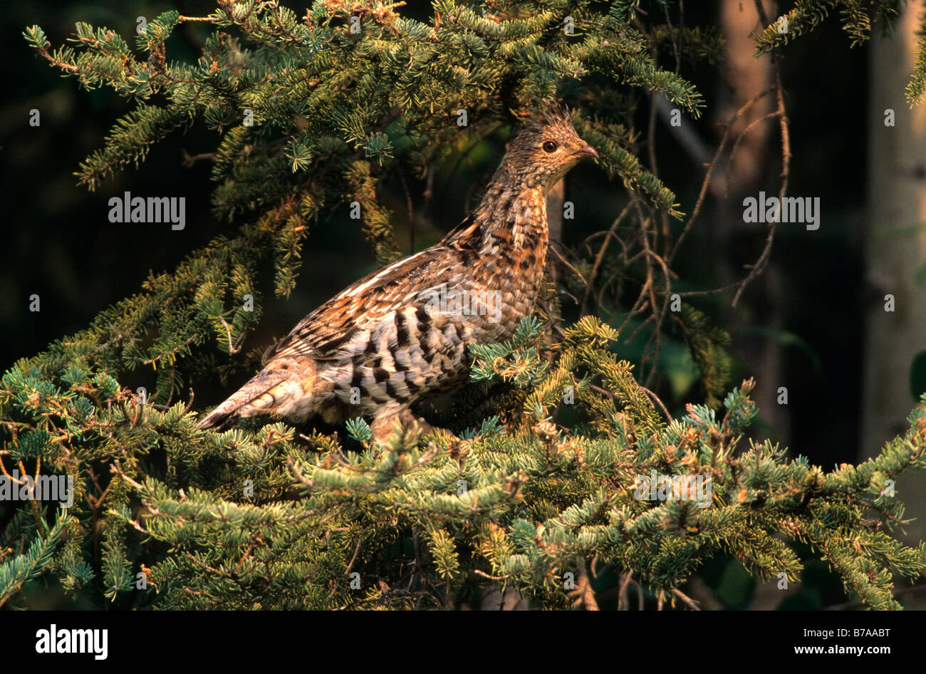 North American Spruce Grouse (Falcipennis canadensis), female, Northwest Territory, Canada, North America - Stock Image