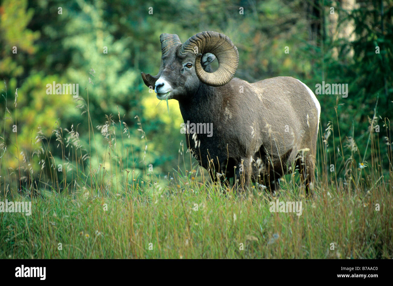North American Big Horn Sheep (Ovis canadensis), Jasper National Park, Alberta, Canada, North America - Stock Image