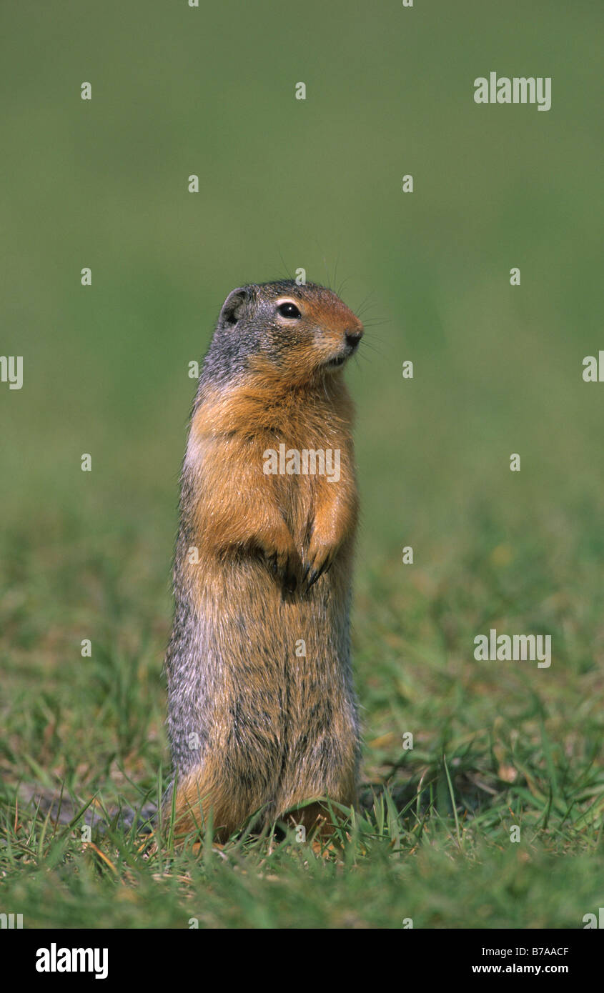 Columbian Ground Squirrel (Spermophilus columbianus), British Columbia, Canada, North America - Stock Image