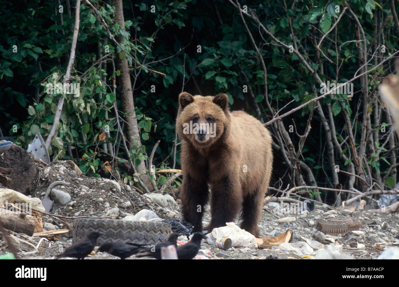 Grizzly Bear (Ursus arctos horribilis) in a landfill in Alaska, North America - Stock Image