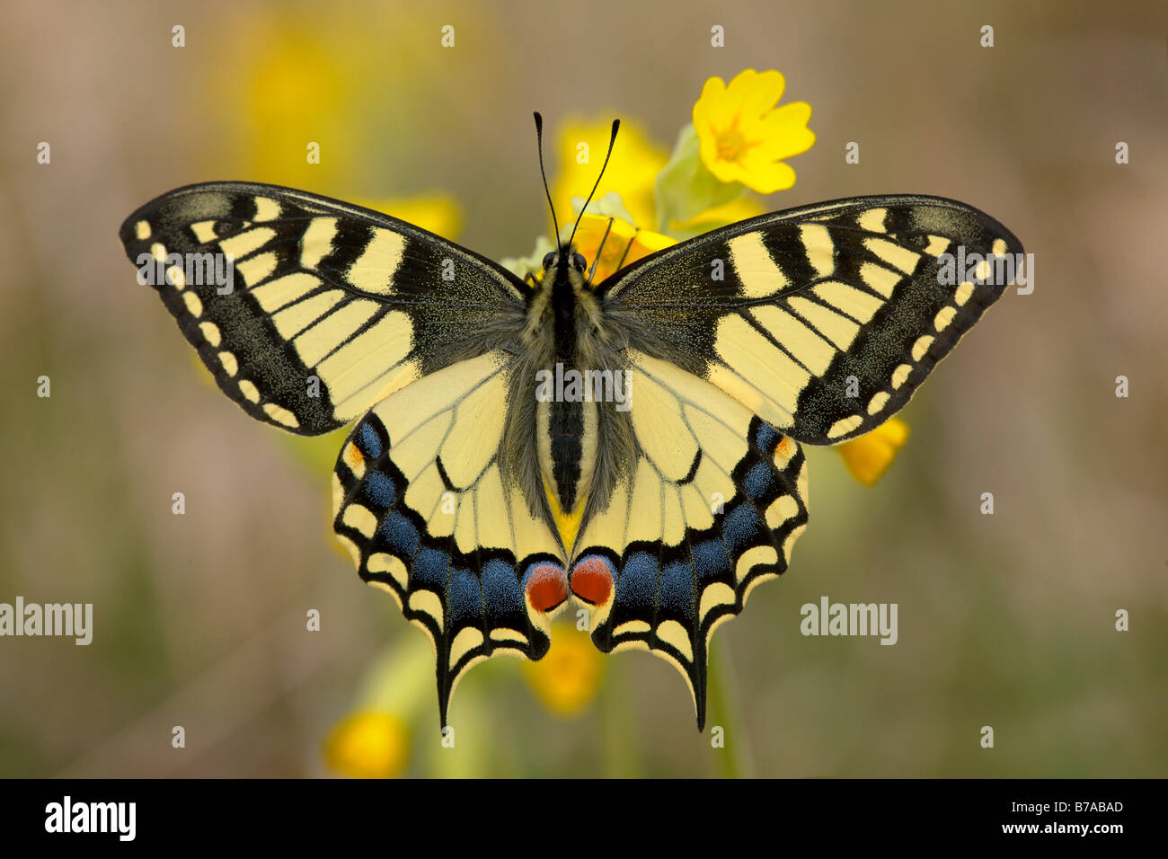 Old World Swallowtail Butterfly (Papilio machaon) resting on Cowslip (Primula veris), wings spread, Eichkogel near - Stock Image