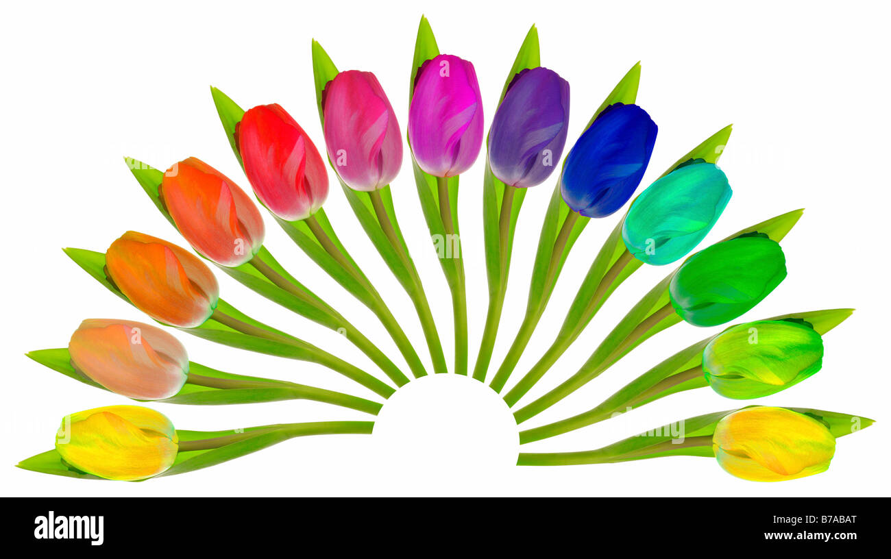 Colourful Tulips arranged in a fan-shape on white - Stock Image