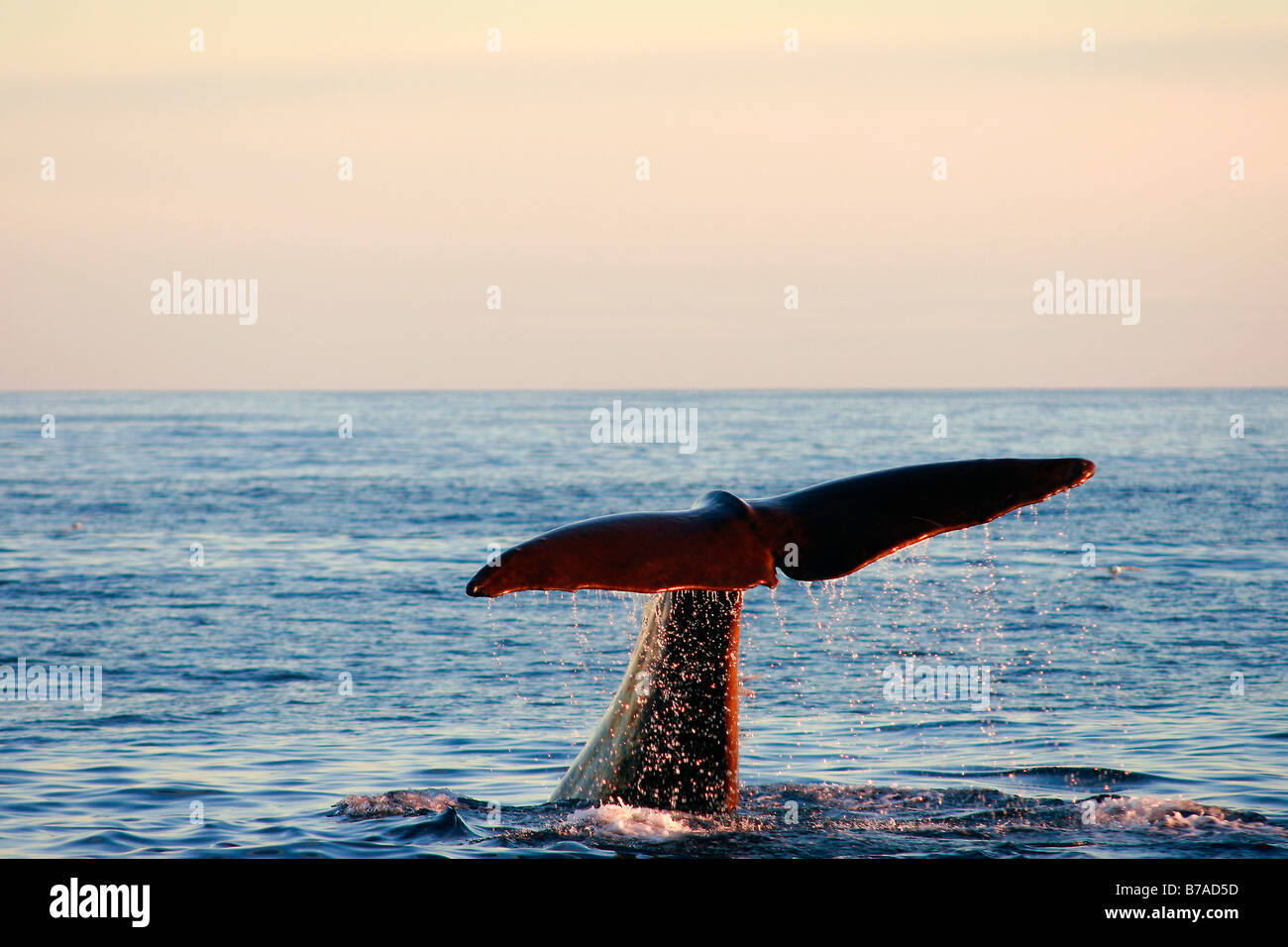 Fluke of a Sperm Whale (Physeter catodon or physeter macrocephalus), male foraging, polar sea, midnight sun, Andenes, - Stock Image