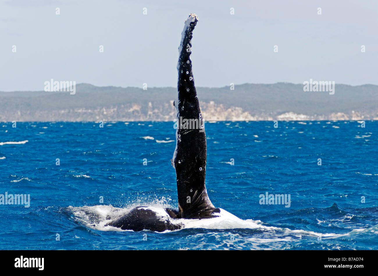 Flipper, pectoral fin of a Humpback Whale (Megaptera novaeangliae) in Hervey Bay in front of Fraser Island, Queensland, - Stock Image
