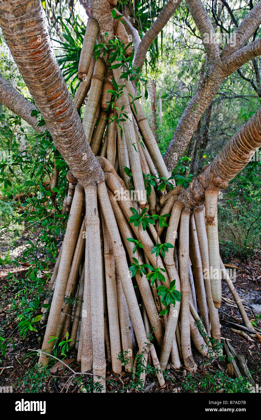 Aerial roots of a tree, Fraser Island, Queensland, Australia - Stock Image