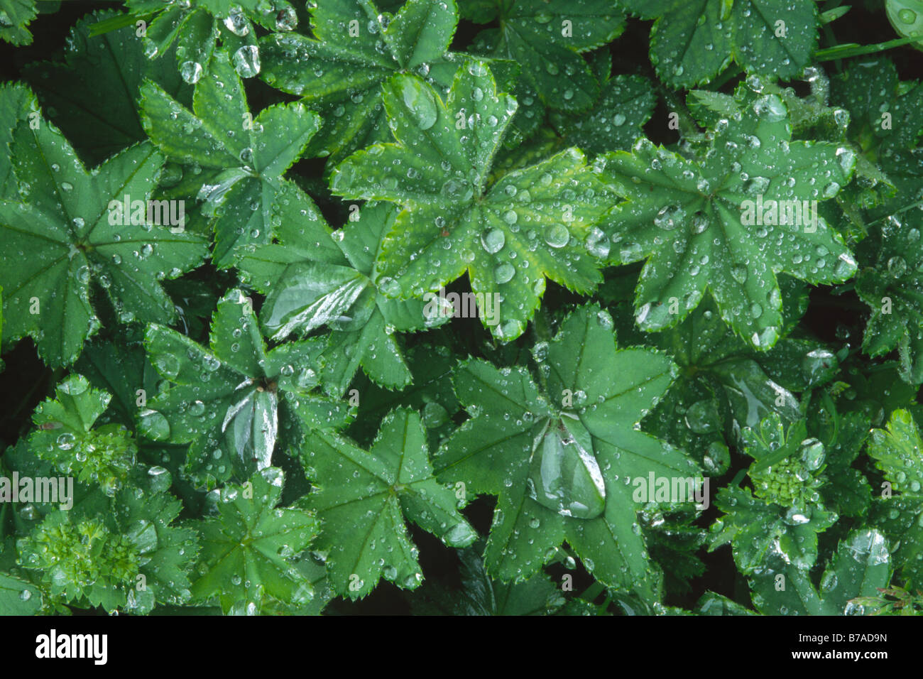 Waterdrops on Lady's Mantle (Alchemilla mollis), leaves after rain in North Tyrol, Austria, Europe - Stock Image