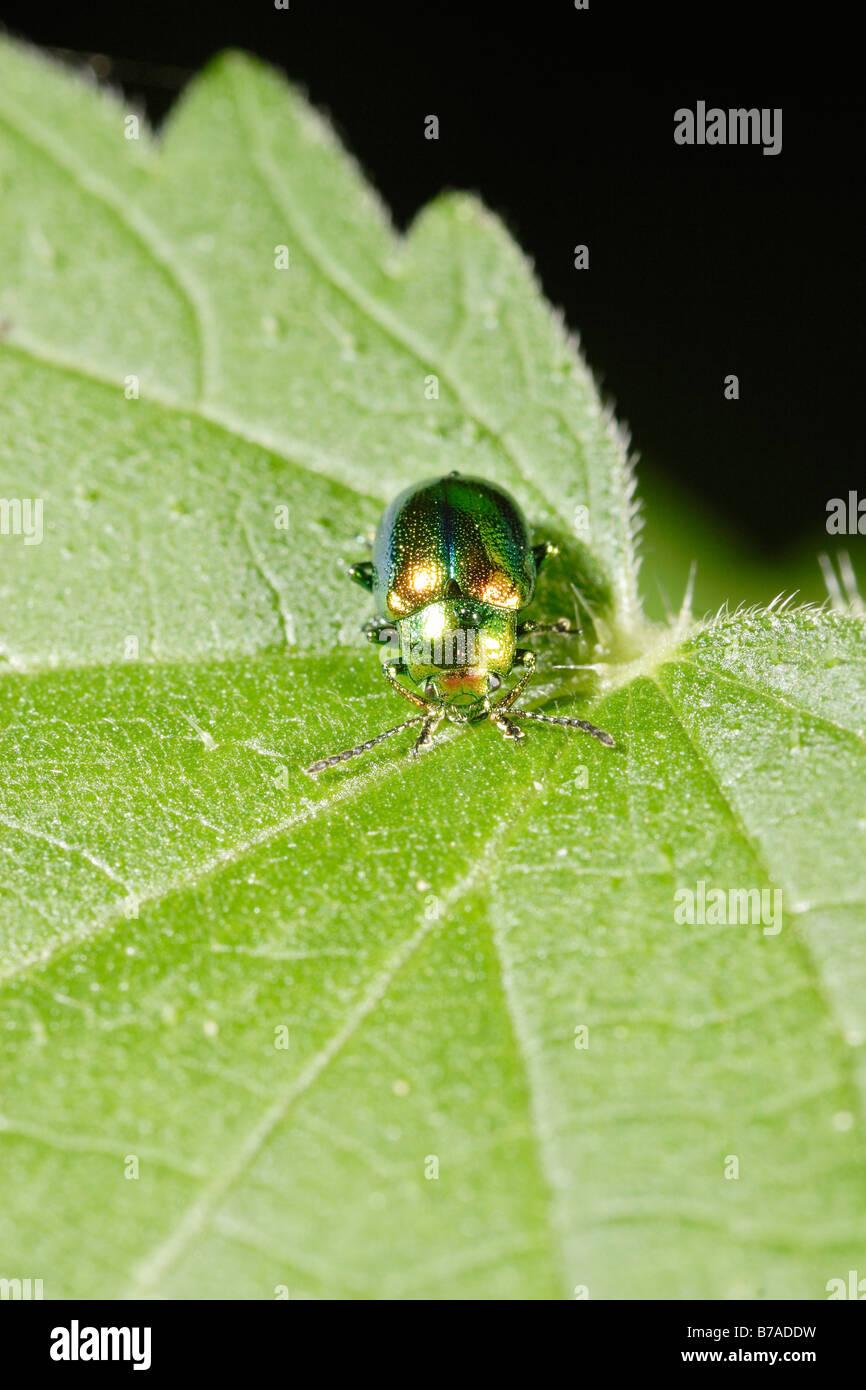 Cetonia aurata - Cetoniidae - La Cétoine dorée sur une ...