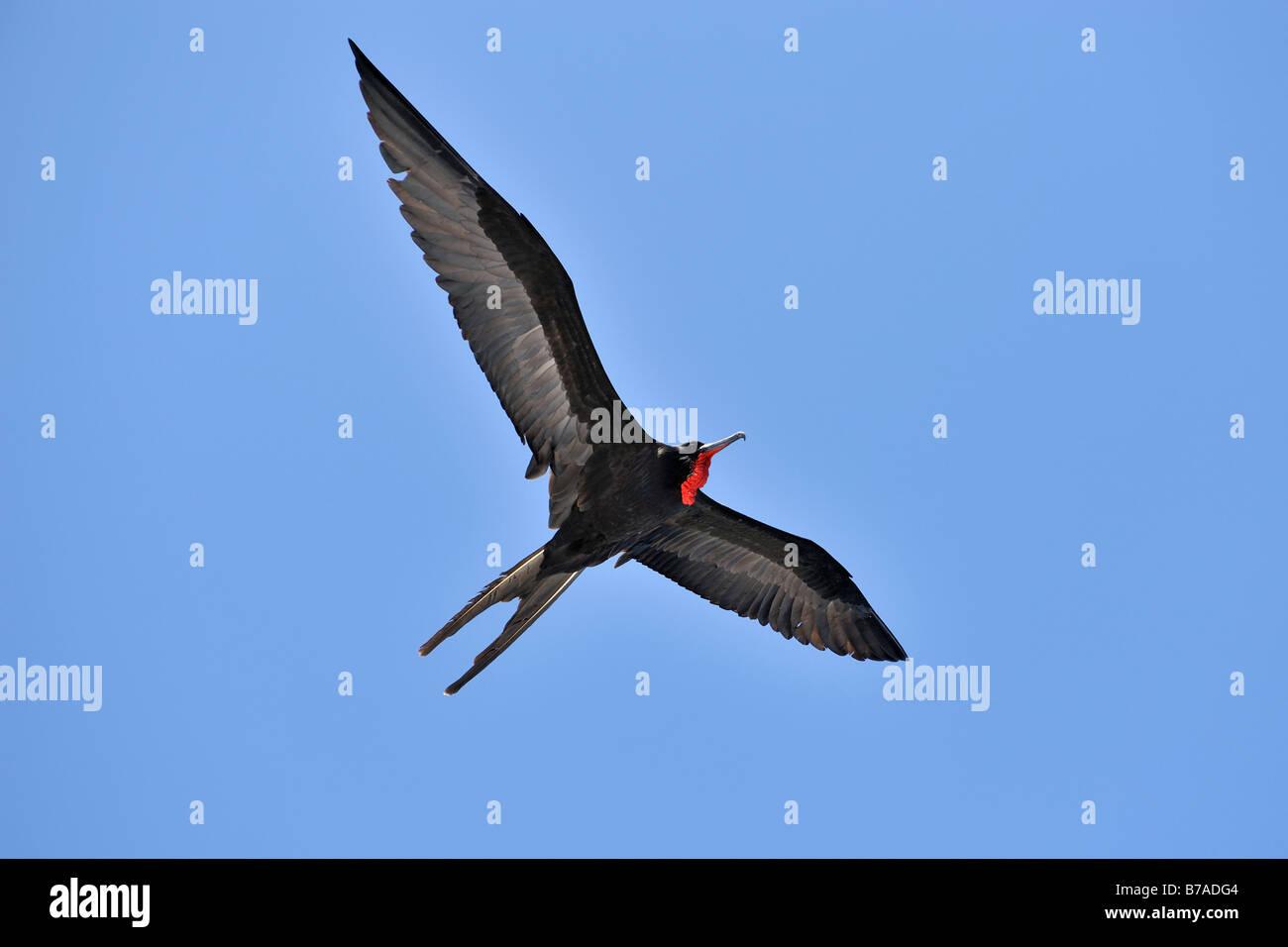 Great Frigatebird (Fregata minor) in flight, Galapagos Islands, Ecuador, South America - Stock Image