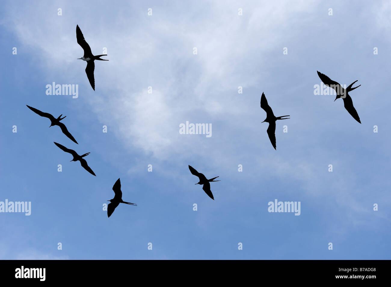 Great Frigatebirds (Fregata minor) in flight, Galapagos Islands, Ecuador, South America - Stock Image