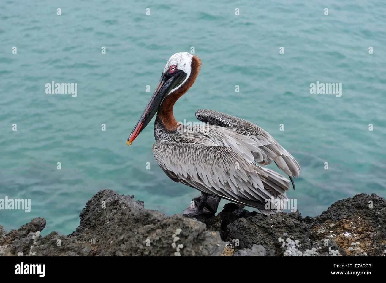 Brown Pelican (Pelecanus occidentalis), Galapagos Islands, Ecuador, South America - Stock Image