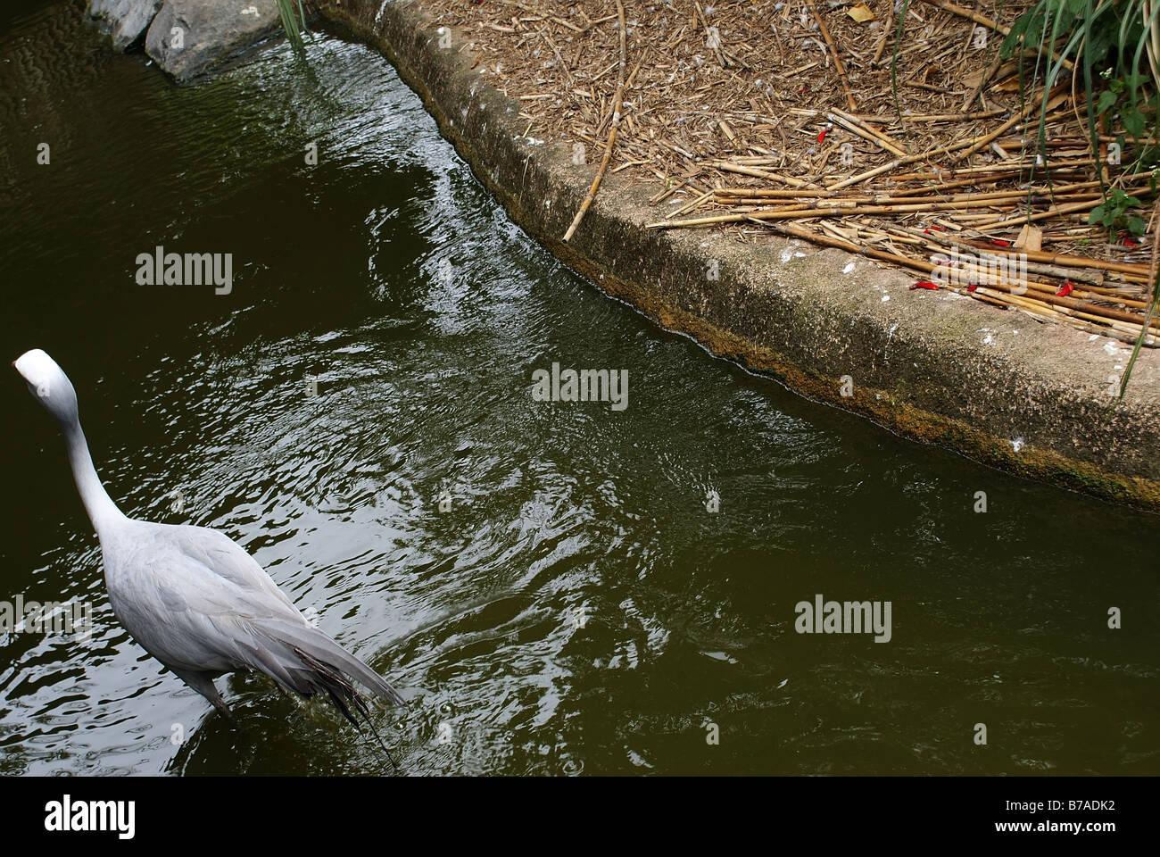 A Duck-Like bird wading alone. - Stock Image