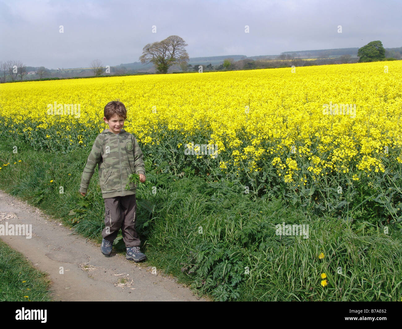 A boy walking along a rapeseed field in North Yorkshire, england - Stock Image