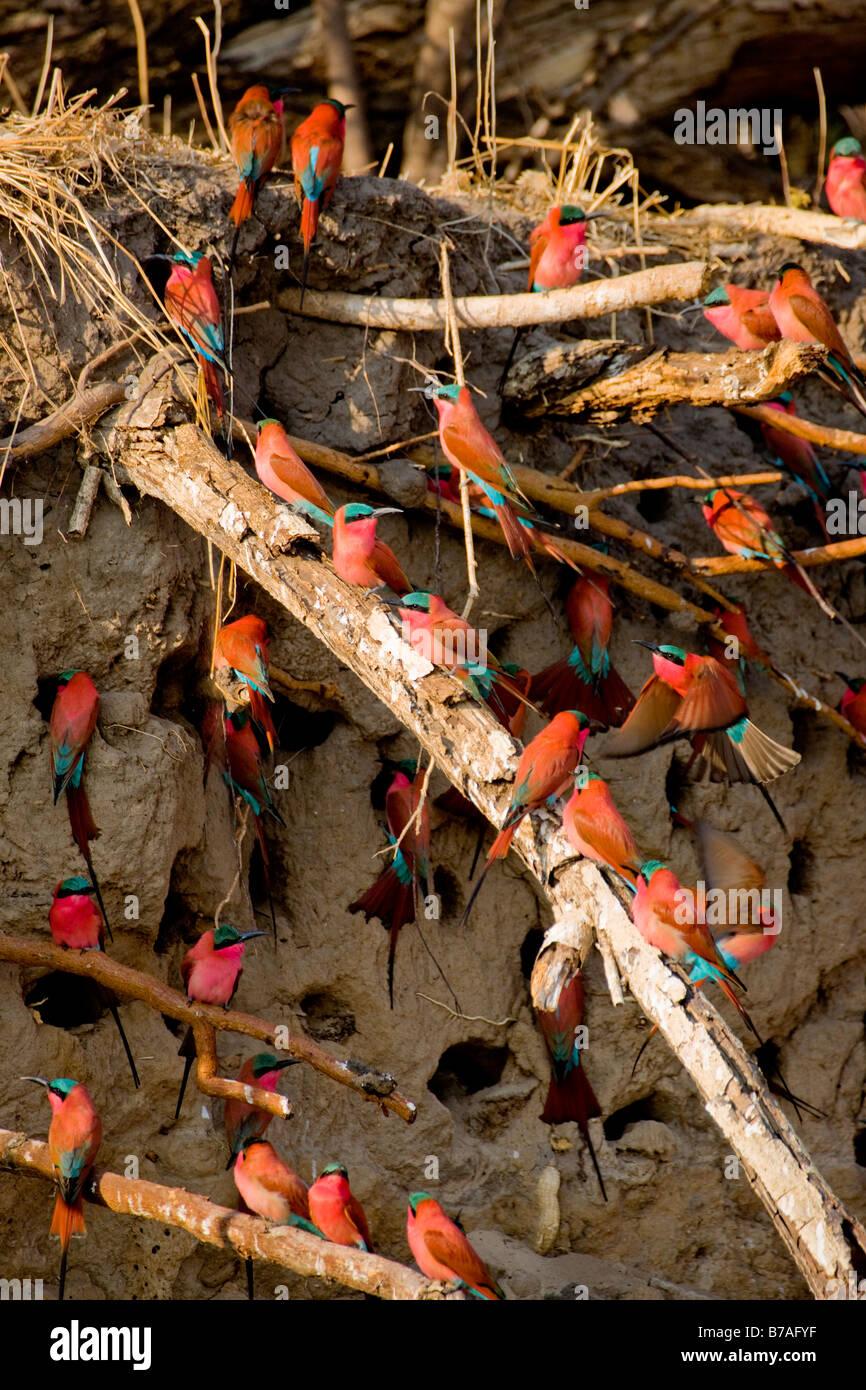 Southern Carmine Bee-eaters at their Mud Wall Nests, Okavango Panhandle, Botswana - Stock Image