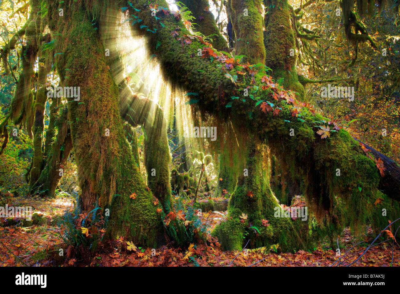 Hoh rain forest in Olympic National Park in autumn - Stock Image