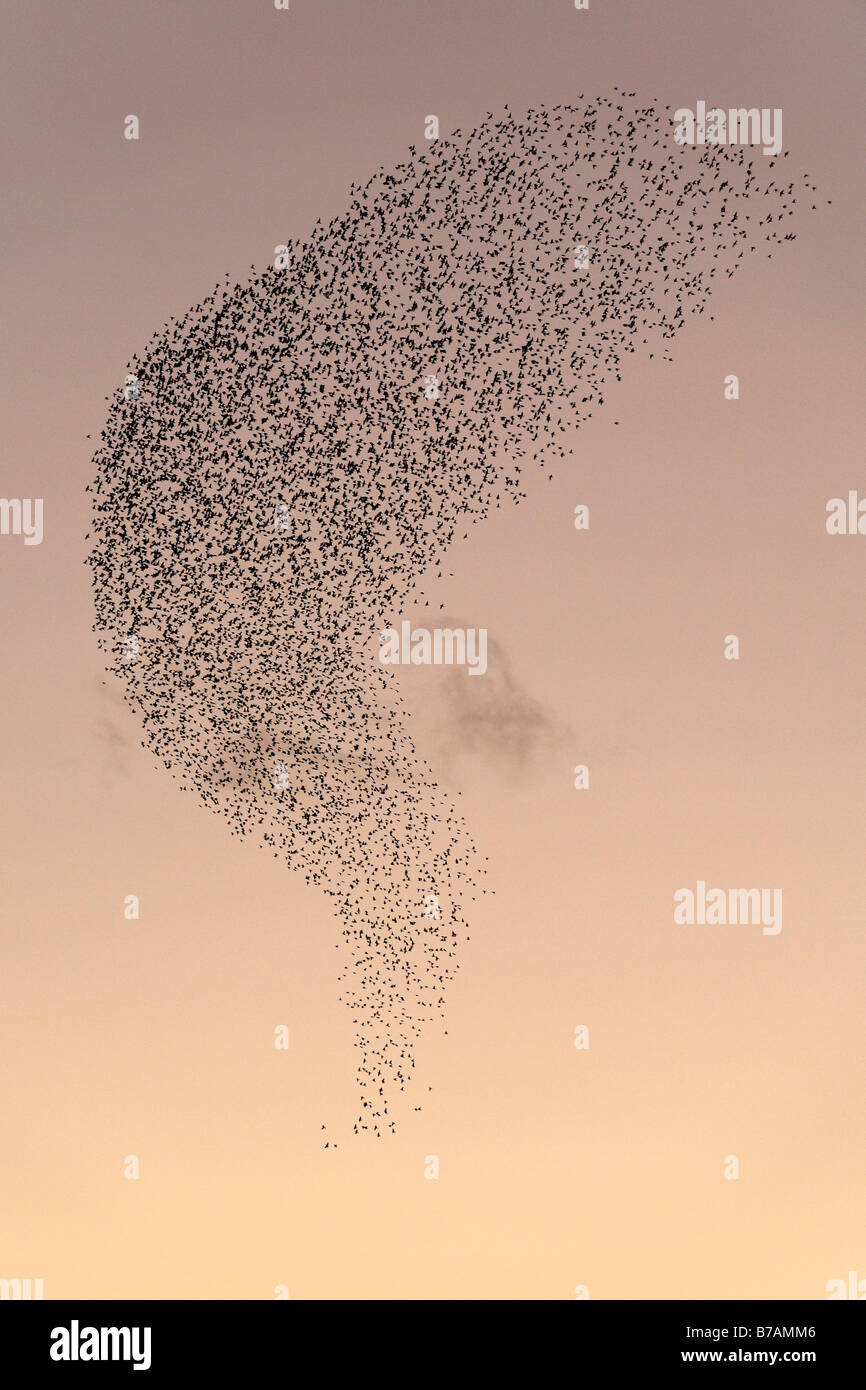 Flock of European Starlings, Common Starlings (Sturnus vulgaris) - Stock Image