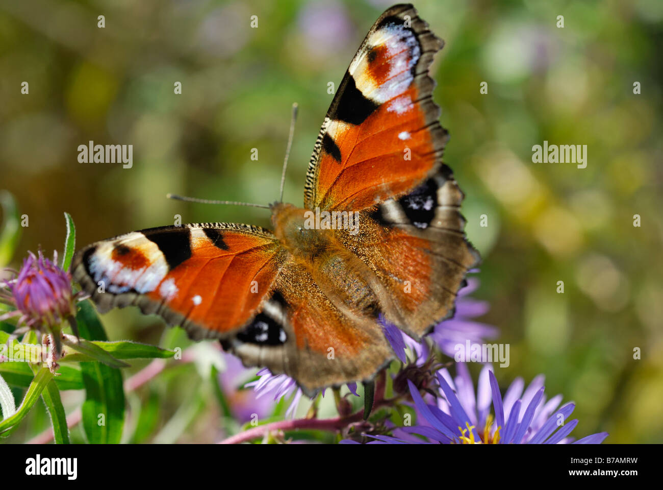 Peacock Butterfly (Inachis Nymphalis io) on an aromatic aster (Aster oblongifolius) - Stock Image