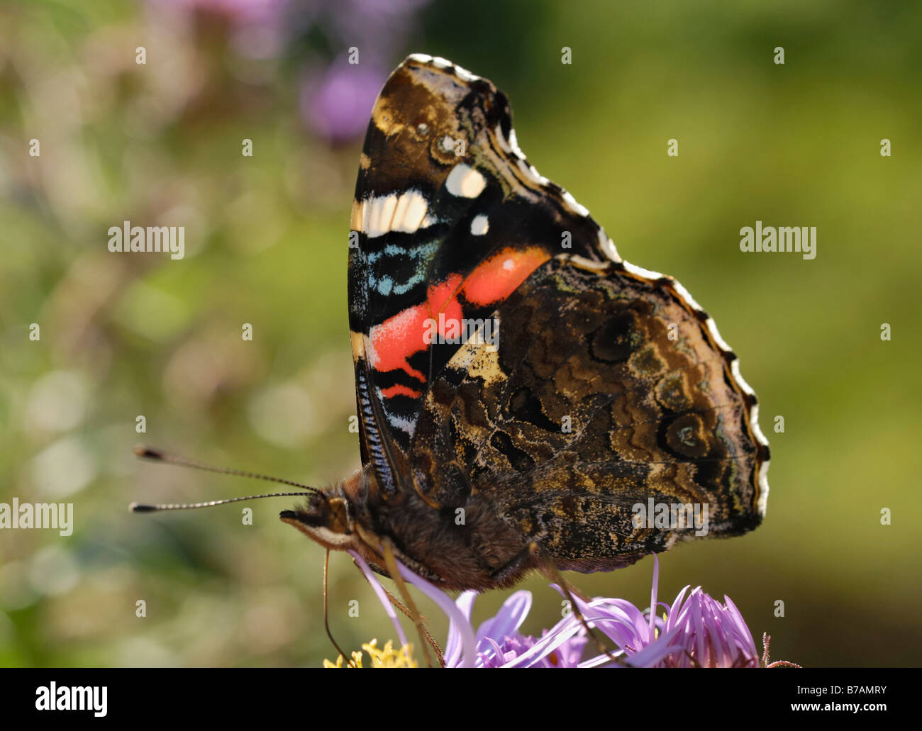 Red Admiral (Vanessa atalanta) drinking nectar from the violet blossom of an aromatic aster (Aster oblongifolius) - Stock Image