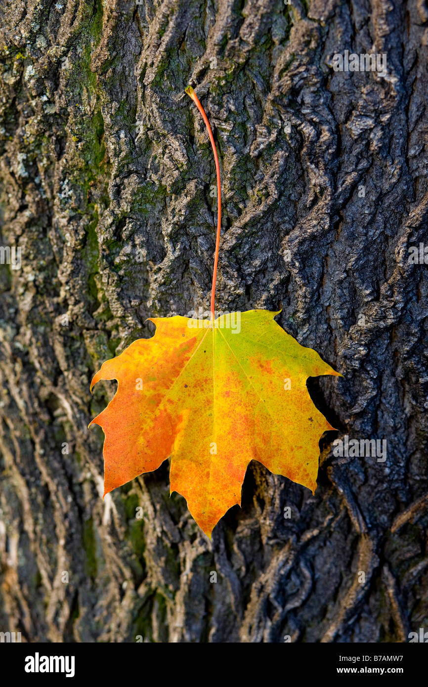 Autumnal maple leaf, sticking to a tree trunk Stock Photo