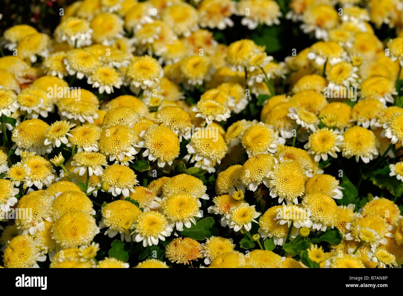 Yellow daisy type flower stock photos yellow daisy type flower chrysanthemum morifolium ramat butterball yellow flowers daisy type annual flower bloom blossom yellow stock image izmirmasajfo Image collections