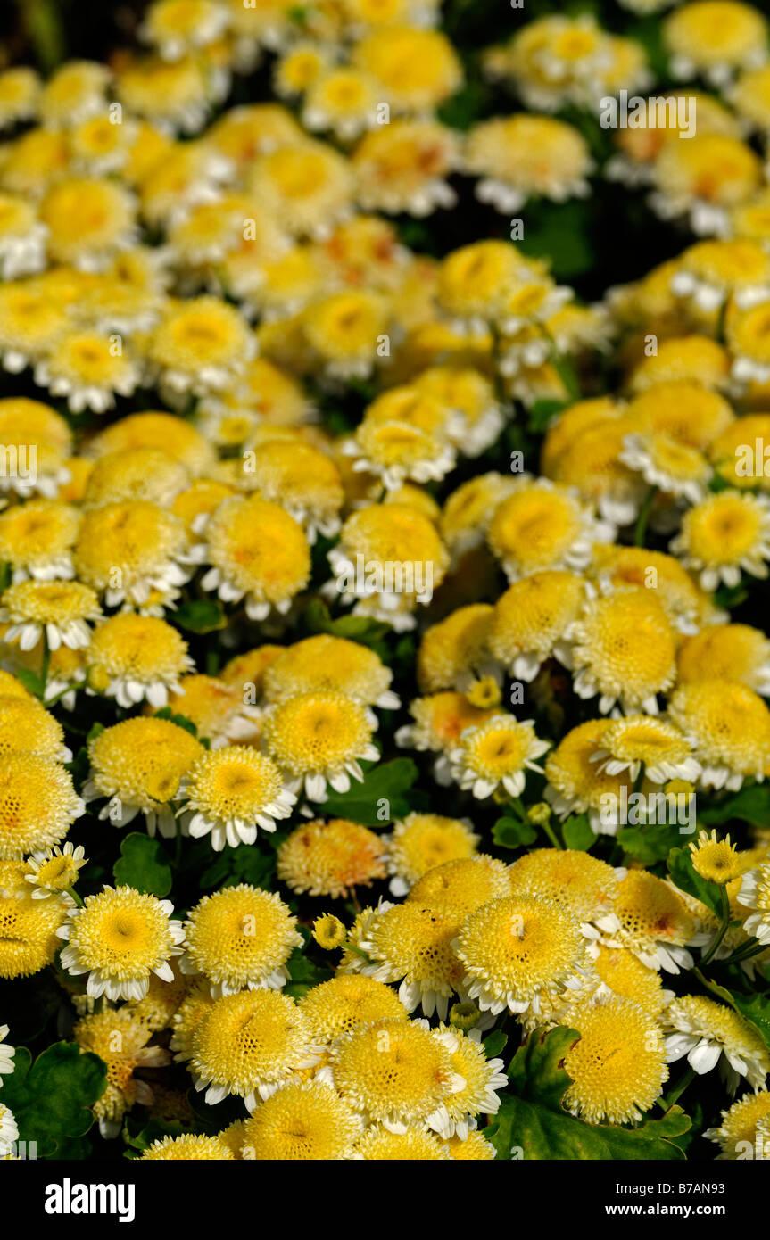 Chrysanthemum Morifolium Ramat Butterball Yellow Flowers Daisy Type
