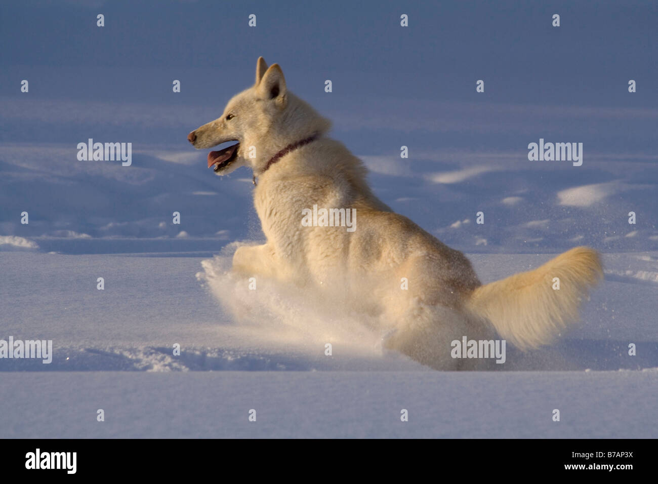 White husky, sled dog, sledge dog, revels in snow, Yukon Territory, Canada, North America - Stock Image