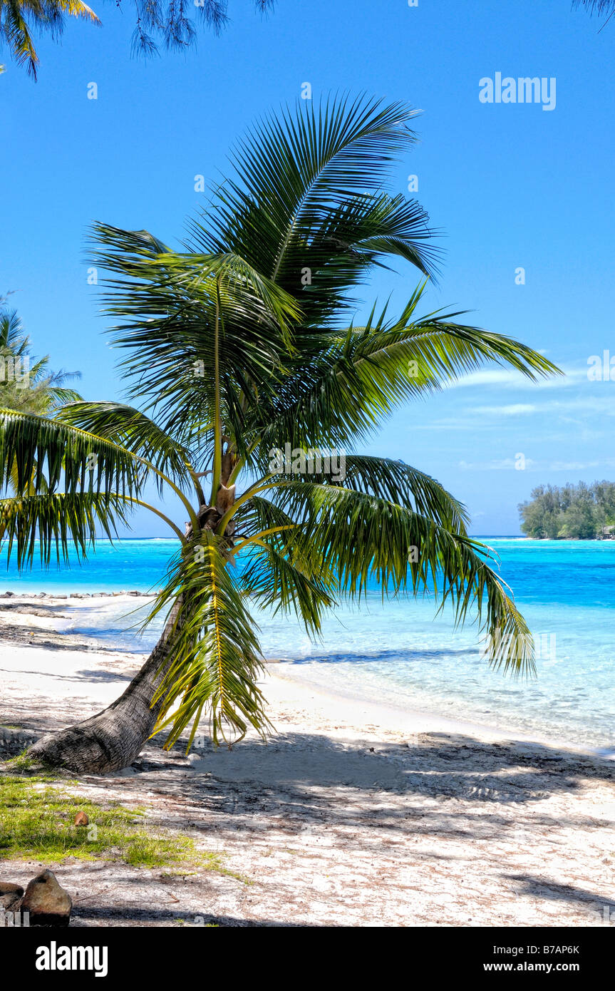 Little coconut palm on the beach of Papetoai, Moorea, French Polynesia - Stock Image