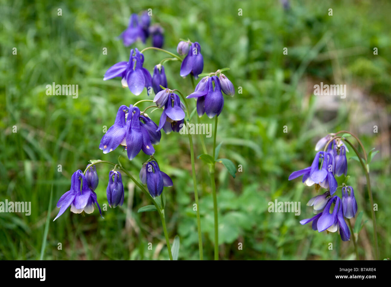 Bluebell flowers at Kanas national park in Xinjiang in China. - Stock Image