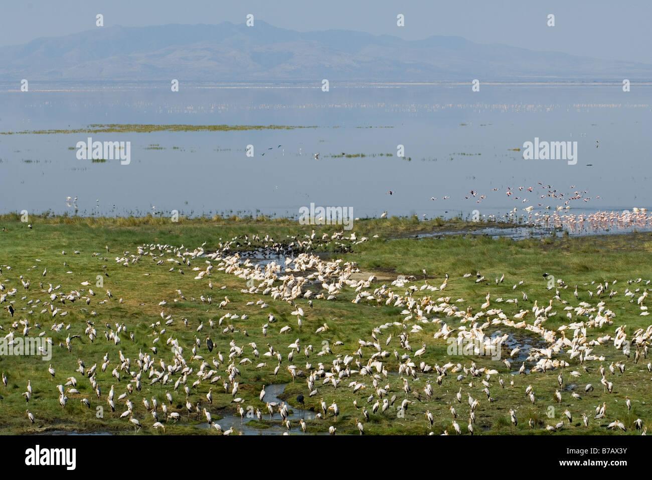 Yellow billed storks Mycteria ibis at the Hot Springs in Lake Manyara National Park Tanzania - Stock Image