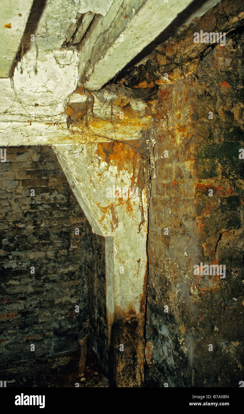 Wet Rot - Coniophora cerebella (Cellar Rot) affection woodwork in old house without damp-proof course. - Stock Image