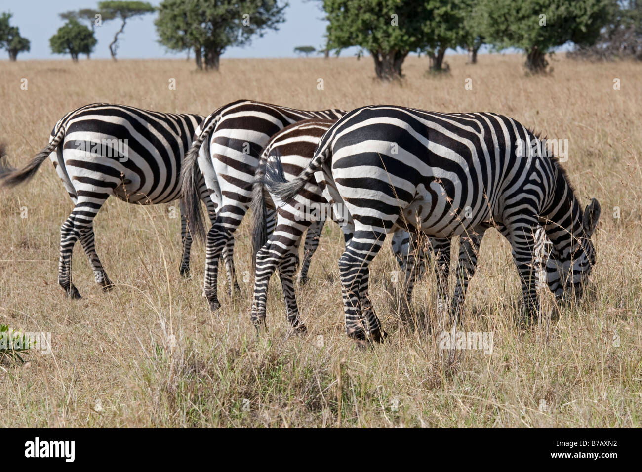 Zebra four bottoms Equus burchelli on savannah plains Masai Mara North Reserve Kenya Stock Photo