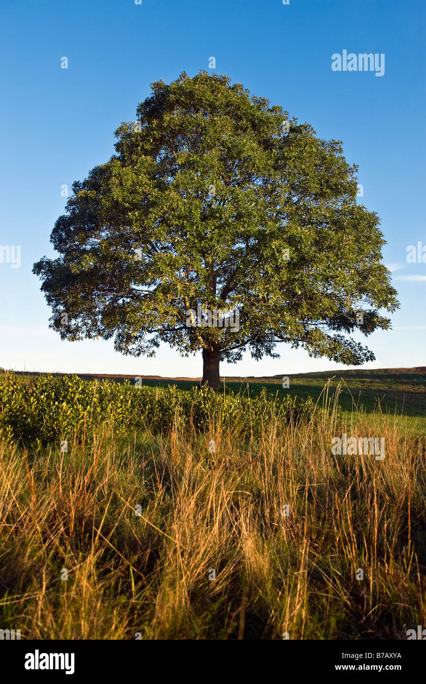 Tree on a hill - Stock Image